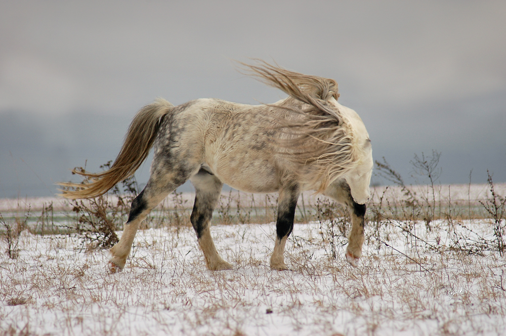 Welsh mountain pony