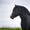 Welsh pony of cob type | fotografie