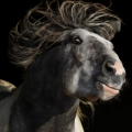 Irish cob crosbred sekce A - Cob | fotografie
