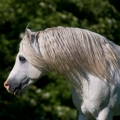 Welsh mountain pony | fotografie